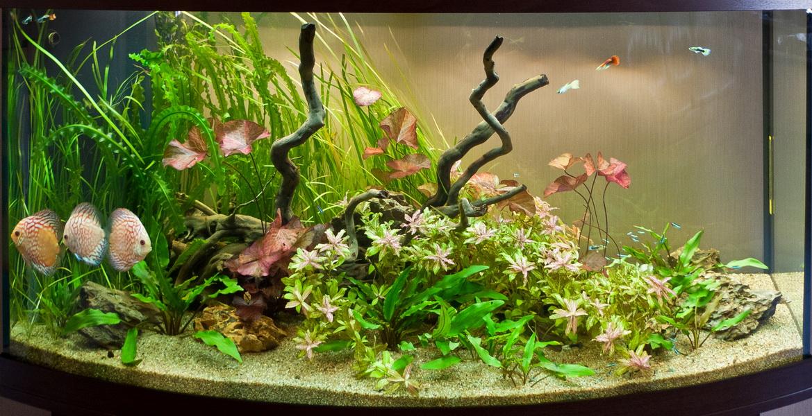 Пресноводное оформление с живыми растениями и дискусами